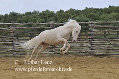 _LL05947 (Lothar Lenz) Tags: horse caballo cheval indigo 2008 cavalo pferd hest equus paard lusitano hst cremello hengst hestur cremelo konj hobu zirgs haciendabuenasuerte fotolotharlenz