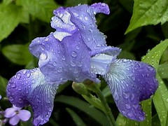 A welcome and needed shower (sylkky2) Tags: blue iris wet rain droplets onlythebestare