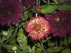 another close up (c.h.a.d.w.i.c.k.) Tags: flowers plants outside pretty purdy