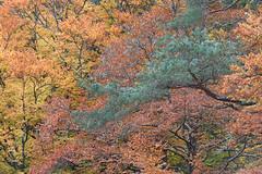 Mixed feelings (George Pancescu) Tags: nikon d810 70200mm nature natural forest scenery trees branches leaves leaf lateautumn feelings colors scotland unitedkingdom europe