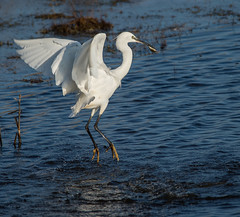 Little Egret. (Delboy Studios) Tags: cleymarsh17