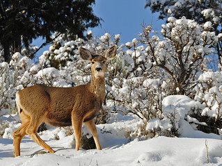Pretty Doe in the Snow (freezing her nose and toes) - 5224b+
