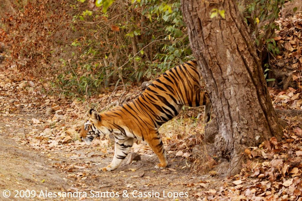 Chorbhera Tigress _MG_0760_F