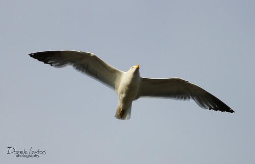 Gabbiano - Seagull