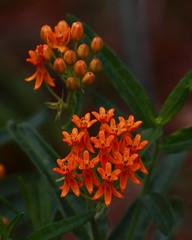 Butterfly Weed (danjdavis) Tags: butterflyweed flowersadminfave flowerorangeflowerhorticulturalgardensuniversityofarkansas