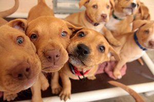 Group of tan puppies