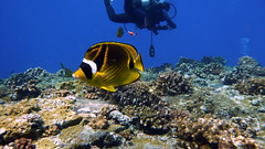 Raccoon Butterflyfish at Kerama
