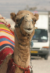 Camel Smile (in the bag solutions) Tags: smile animal fauna happy israel canon300d camel canondslr peterroffey
