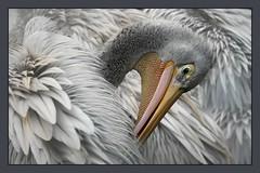 Birds of a feather.. (hvhe1) Tags: bird nature animal bravo quality wildlife feather pelican soe naturesfinest dewissel specanimal animalkingdomelite hvhe1 hennievanheerden infinestyle avianexcellence