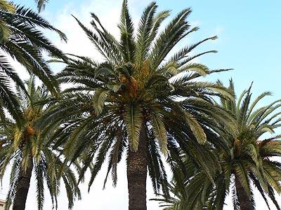 palmiers à San Remo.jpg