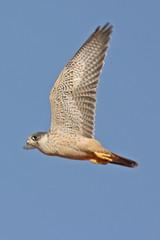 032054-IMG_4878 Grey Falcon (Falco hypoleucos) (ajmatthehiddenhouse) Tags: greyfalcon grayfalcon falcohypoleucos falco hypoleucos sa southaustralia bird 2007 australia
