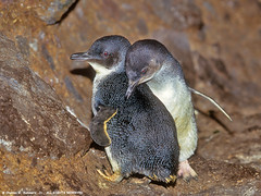 09460-00108 Little Blue Penguins interact in open cave near ocean where they nest (Eudyptula minor) by WildImages