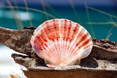 Shell on Pakiri beach (polarized)