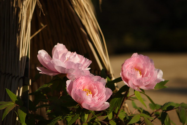淡く輝く花々