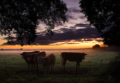 Bucolic Dawn (. Andrew Dunn .) Tags: uk longexposure england mist rural landscape dawn twilight cattle cows norfolk sleepy bucolic eastanglia holkham northnorfolk cyspecialchallengewinner