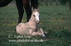 scan7 (277) (Lothar Lenz) Tags: horse caballo cheval cavalo pferd hest equus quarterhorse paard hst qh fohlen hestur konj hobu zirgs fotolotharlenz