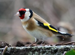 Goldfinch - 1 (catb -) Tags: bird wow garden goldfinch birdwatcher naturesfinest cardueliscarduelis blueribbonwinner interestingness108 i500 onephotoweeklycontest