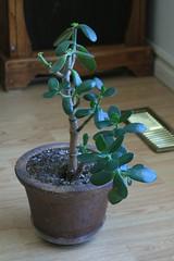 Sandy's Jade (BlackWyld) Tags: green succulent houseplant jade jadeplant crassula ovata argentea obliqua portulacea