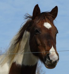 Paint horse #1 again (chippewabear) Tags: horses paint pony equine pinto paintedpony