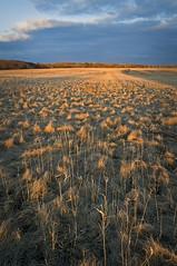 (baldwinm16) Tags: light sunset texture nature grass illinois springbrook springbrookprairie illinoisforestpreserve springbrookprairieforestpreserve