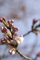 Buds and Cherry Blower, Yoyogi Park