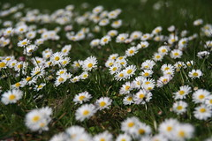2008.04 046 (Gerd Pauluen) Tags: white flower nature germany garden deutschland natur loveit daisy nrw blume garten nordrheinwestfalen bellis gnseblmchen bellisperennis weis