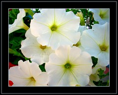 Bunch of Whites (LelisA) Tags: blooms inthegarden naturesfinest aplusphoto excellentphotographersaward whitepetunia flickrbestpics atthebackyard