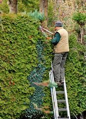 gardener @ work (cool_colonia4711) Tags: cut maw ladder gardener hedgerow leiter hecke schneiden grtner manwork