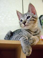 Pawpaw (Chrischang) Tags: pet animal cat 貓 20080430