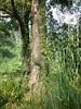 96.11.16竹崎鄉光華村茄苳風景區內的茄苳老樹DSCN3215