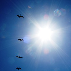 Migrating across the sun (Meera Navare) Tags: voyage blue light sky sun sunshine birds square daylight fly flying intense movement energy bright wing vivid clear journey heat rays migration soaring airborne takeoff brilliant blackbirds soar intheair exodus emission dazzling flutter onthewing takewing challengeyouwinner thechallengefactory taketotheair risea meeranavare