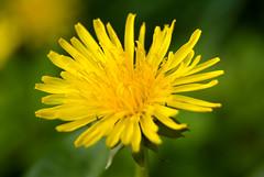 Dandy... (v1ctory_1s_m1ne) Tags: yellow spring weed nikon dandelion 18200 dandy 050508 36mmextensiontube v1m d40x flickrgolfclub wishplants