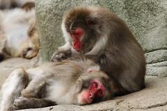 [フリー画像] [動物写真] [哺乳類] [猿/サル] [ニホンザル] [毛づくろい]      [フリー素材]