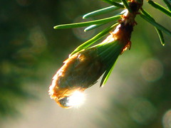 Morning Raindrops (Nature_Deb) Tags: morning sun macro tree nature spring bokeh sparkle evergreen thunderstorm spruce raindrop theenchantedcarousel