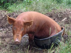 Shut up. My ass was hot. (LisaNH) Tags: pig farm eeyore boar tamworth albus lmaoanimalphotoaward dumbleboar