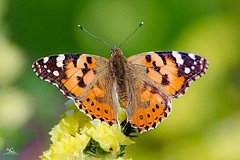Painted Lady (faisy5c) Tags: paintedlady butterfly beauty beautiful outdoors lovely yellow orange colours nikon nikond7100 d7100 nikonafs200500mmvr faisy5c 5ccha