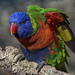 Rainbow+lorikeet
