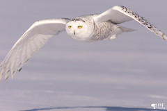 ''Petite-Tâche!''Hafang des neige-Snowy Owl (pascaleforest) Tags: oiseau bird animal passion nikon nature québec canada white blanc snow neige winter hiver wild wildlife fauna snowyowl harfangdesneiges prédateur predator voler flying