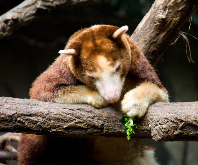 Tree kangaroo, Bronx Zoo