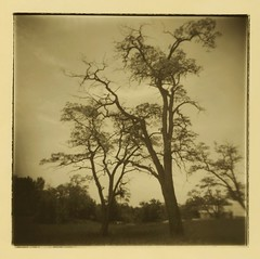 Holga: Trees at Glen Haven