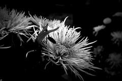 Di Fiori e Silenzio (Senisha, Sophia, Lucretia, Amelia, Soraya, Lunha..) Tags: bw graveyard unesco fiori tombe cimitero mywinners ognisanti crespidassa