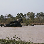 Elephants at Mole