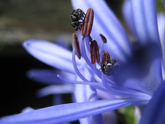 Agapanthus with native bees (imbala) Tags: blue flower garden agapanthus