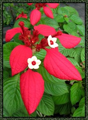 Macro picture of Mussaenda erythrophylla 'Ashanti Blood' (Red Flag Bush)