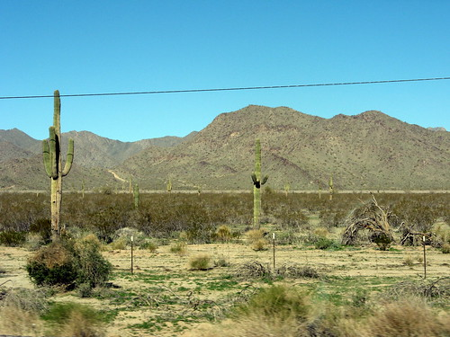 Roadside Saguaros
