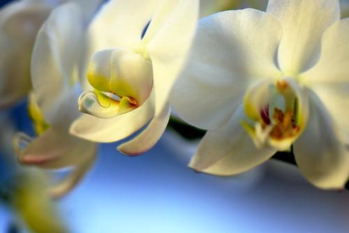 Orchids bokeh