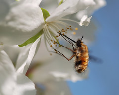 Bee Fly (wilsonaxpe) Tags: summer macro insect beefly onlythebestare top20flowerswithbugs