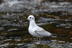 Bonaparte's gull on a river in BC's Great Bear  Rainforest