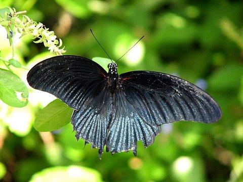 bronze-black b'fly