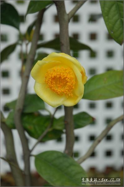 DSC_7144尼提迪斯西瑪(花卉試驗中心)
